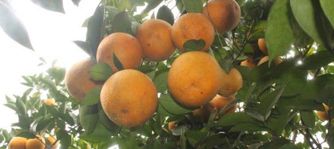 Cam Yên Thành-rộn ràng vào mùa thu hoạch mới
