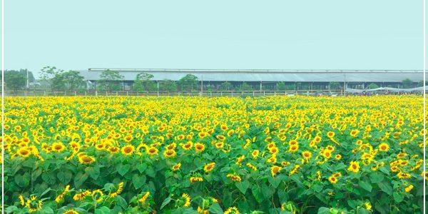 Kinh nghiệm du lịch đồi hoa Hướng Dương tại Nghĩa Đàn, Nghệ An