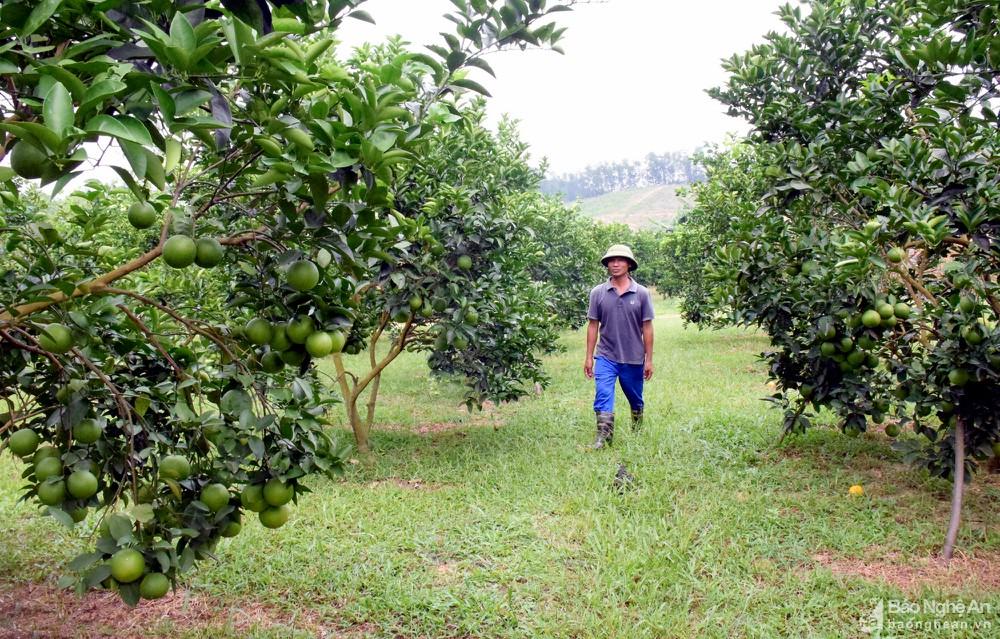 Cây cam đang được mở rộng diện tích ở Yên Thành
